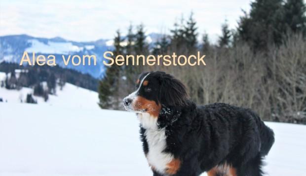 Alea vom Sennerstock1